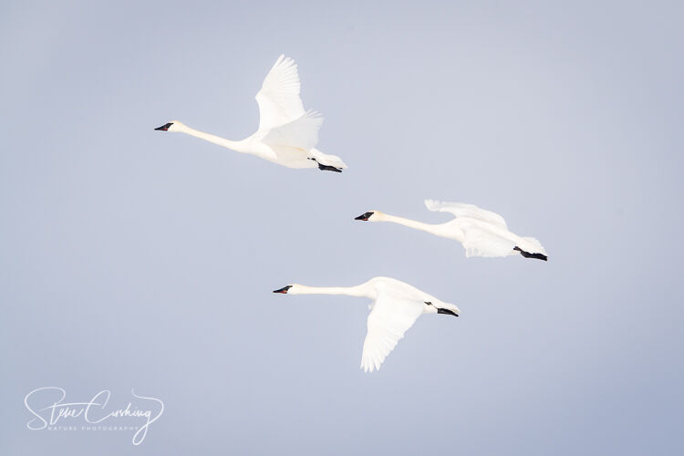 Trumpeter swans in flight in Yellowstone