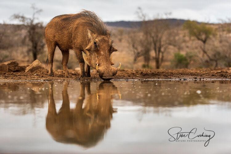 A warthog drinking