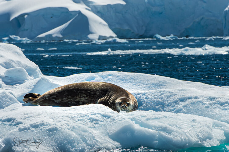 Weddell seal basking on an ice floe