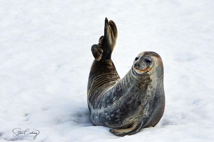 Weddell seal relaxing