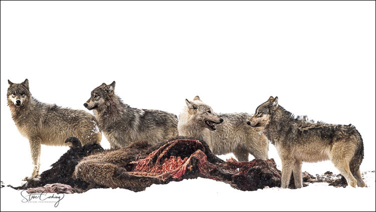 Wolves on bison carcass