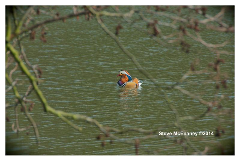 Mandarin Duck 01