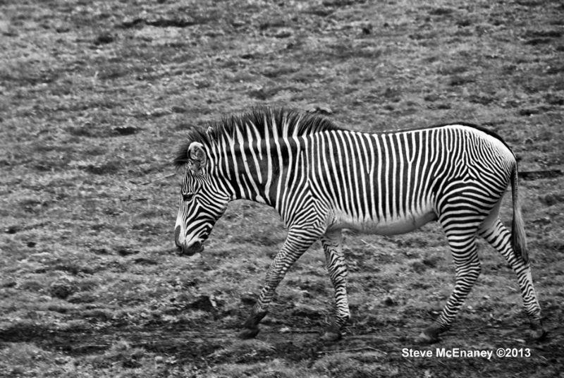 Zebra_#01