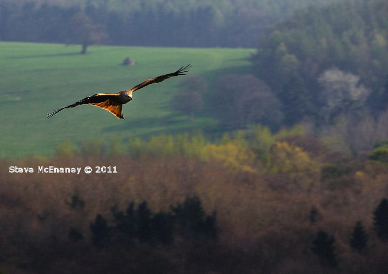 Red Kite #1