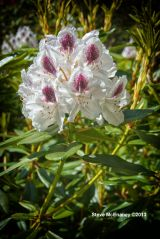 Himalayan_Rhododendron_01