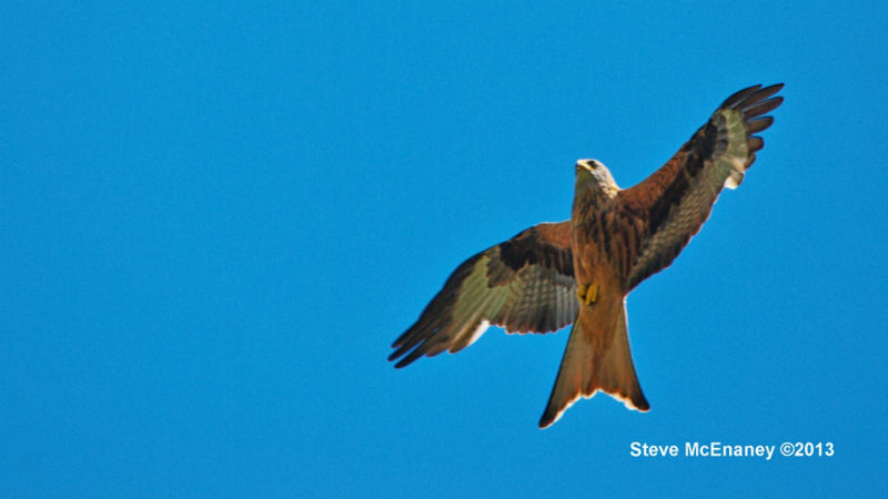 Harewood_Red_Kite_02
