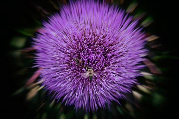 Honey Bees on Globe Artichoke_01