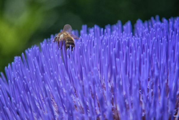 Honey Bees on Globe Artichoke_03