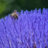 Honey Bees on Globe Artichoke_03