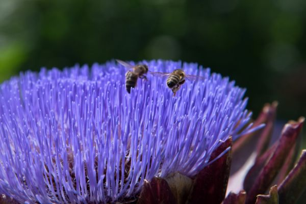 Honey Bees on Globe Artichoke_04