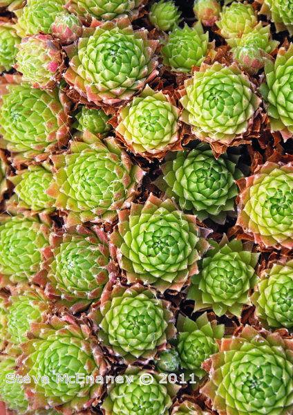 Alpine Succulent #1