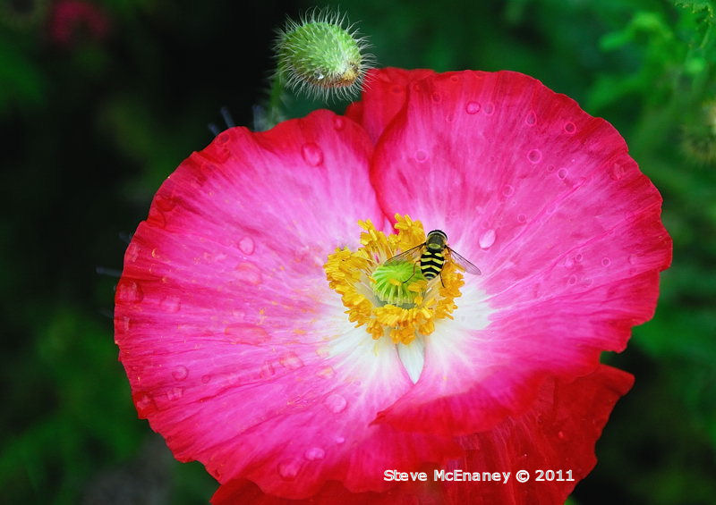 Hoverfly on Pink Poppy