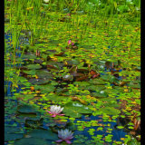 Water_Lily_02