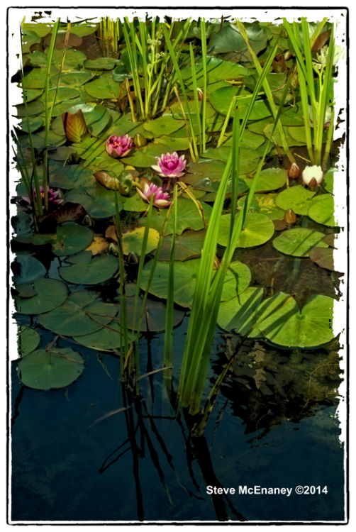 Water_Lily_04