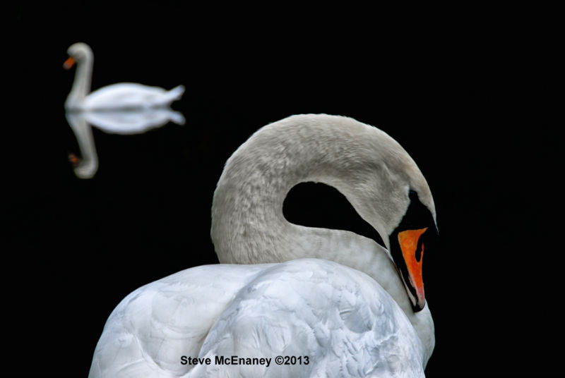 Mute_Swans_#02