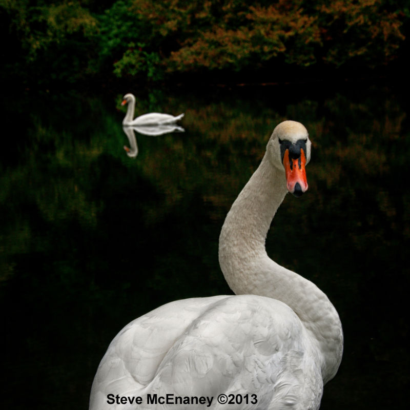 Mute_Swans_#03