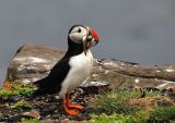 Atlantic Puffin with full beak