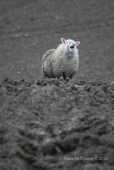The Laughing Ewe