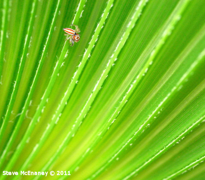 Jumping Spider on Palm Frond