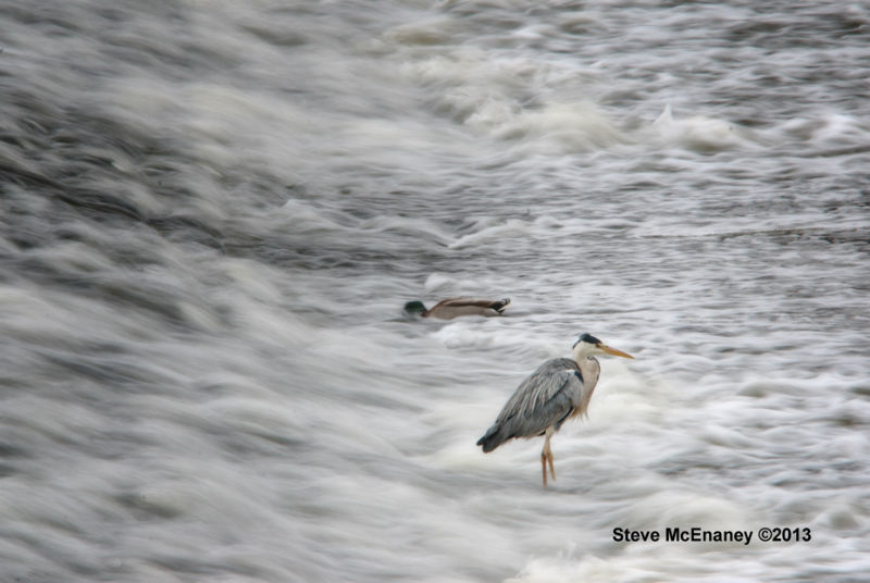 Heron_Fishing_#01