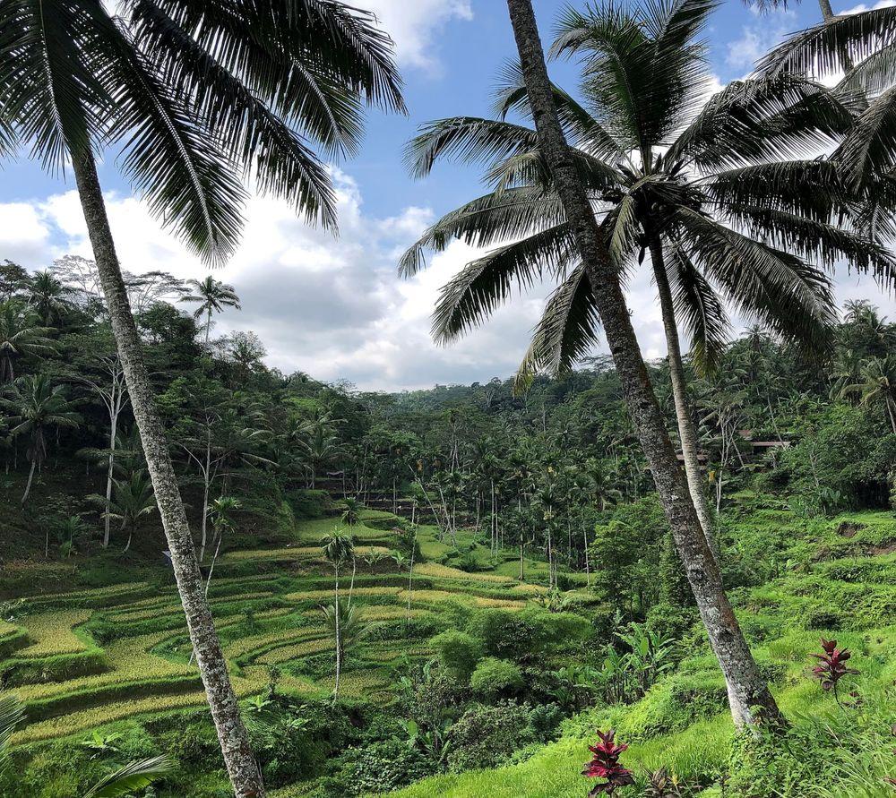 Rice Terrace . Bali . Indonesia