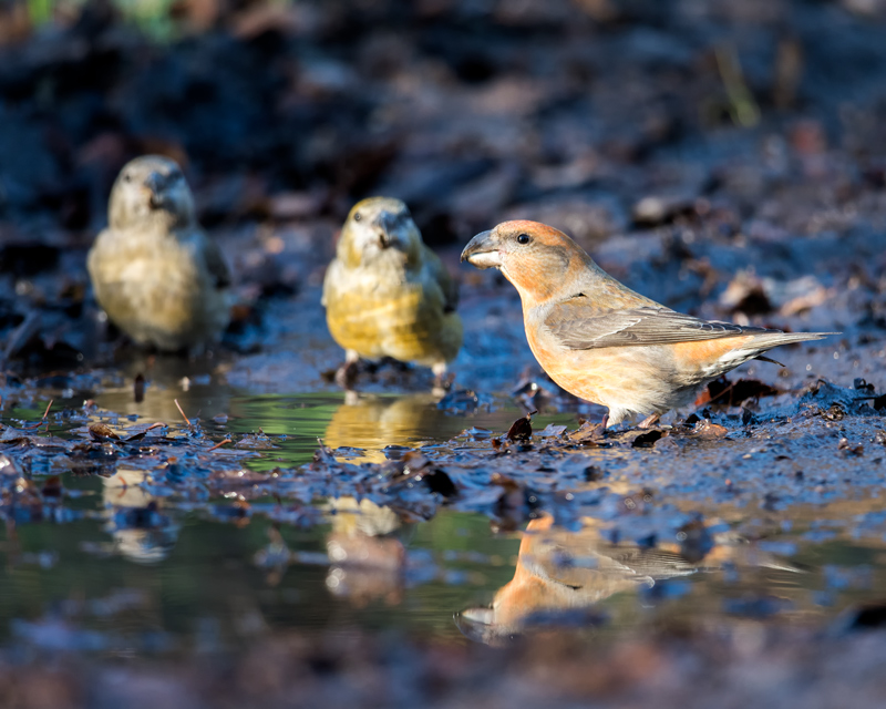 Parrot Crossbill and 2 ladies