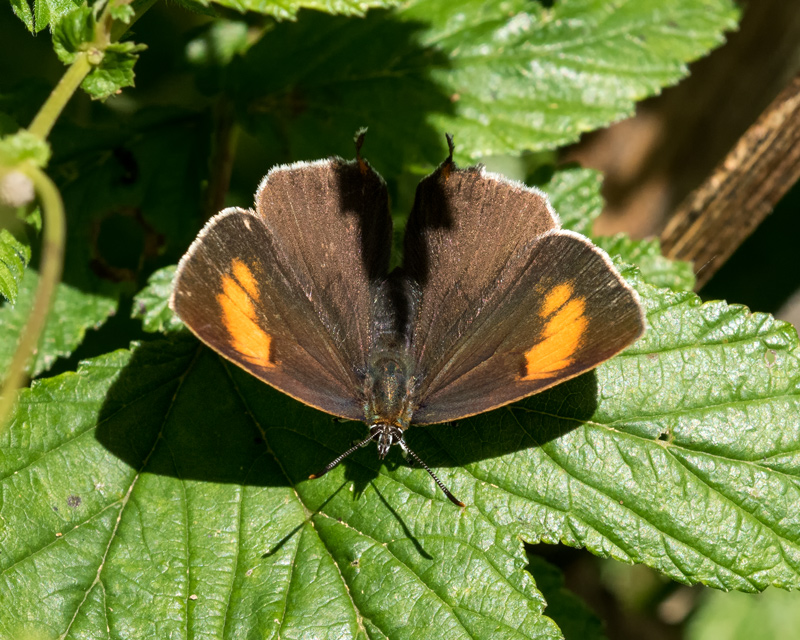 Brown Hairstreak - female