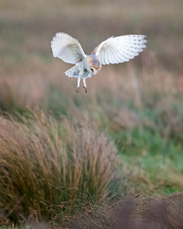 Barn Owl hovering