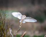 Barn Owl alighting