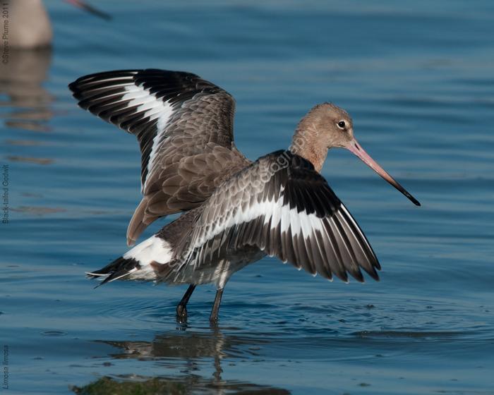 Black-tailed godwit preening