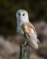 Barn Owl - missed
