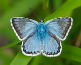 male Chalk-hill Blue