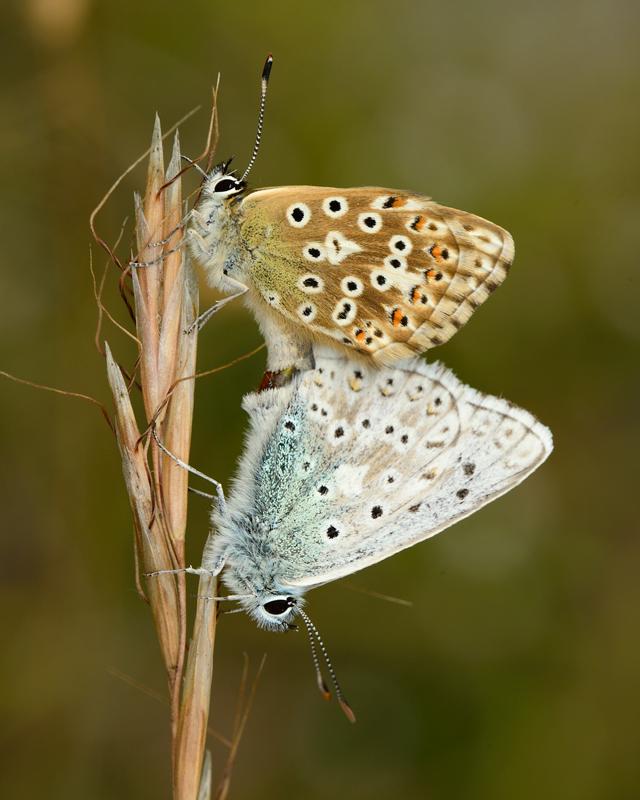 Pair of Chalkhill Blue Butterflies