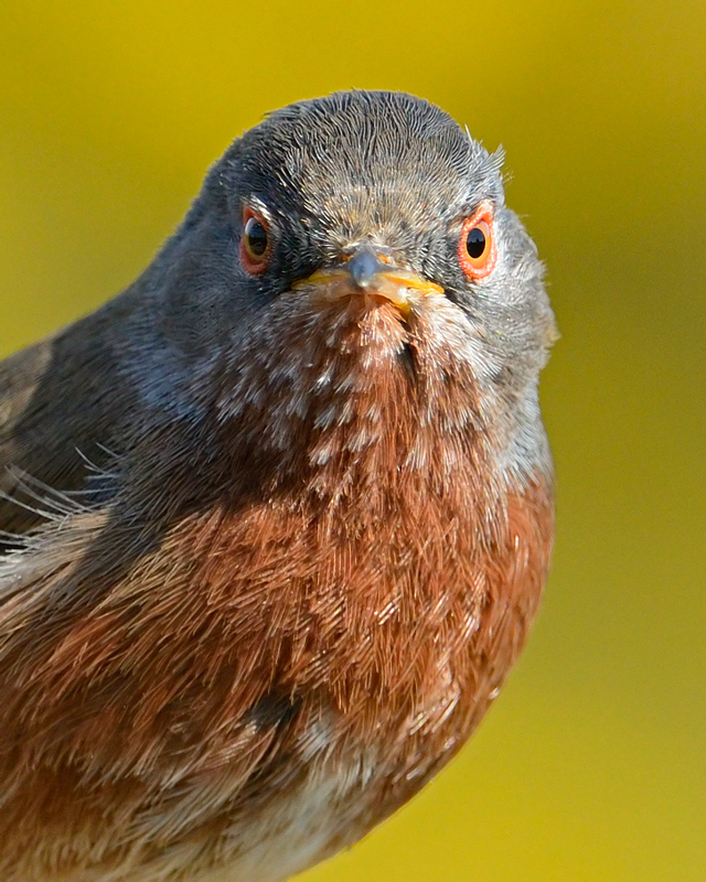 Dartford Warbler portrait