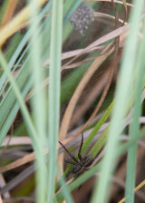 Fen Raft Spider below a nursery sac