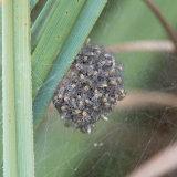 Fen Raft Spider nursery sac