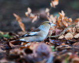 Hawfinch female