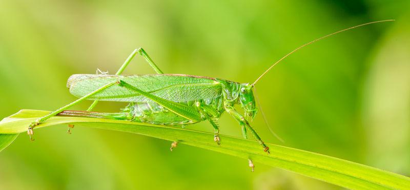 Female Great Green Bush Cricket