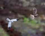 Hen Harrier food pass