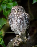 Little Owlet having 40 winks