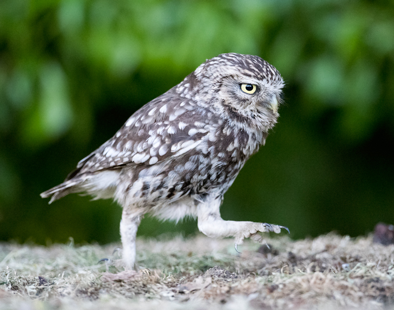 Little Owl goose-stepping