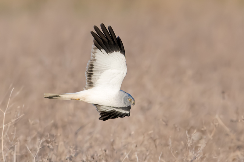Hen Harrier male