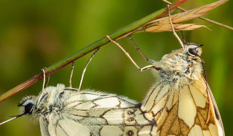 Marble Whites mating
