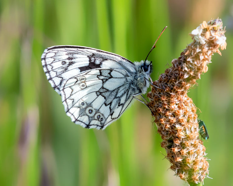 male Marble White