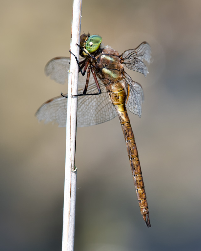 Norfolk Hawker - resting