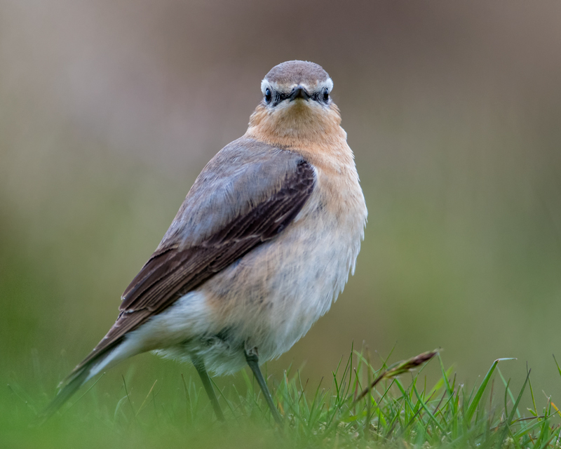 Northern Wheatear male