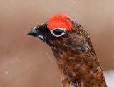 RG-cock-portrait-web