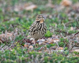 Red Throated Pipit
