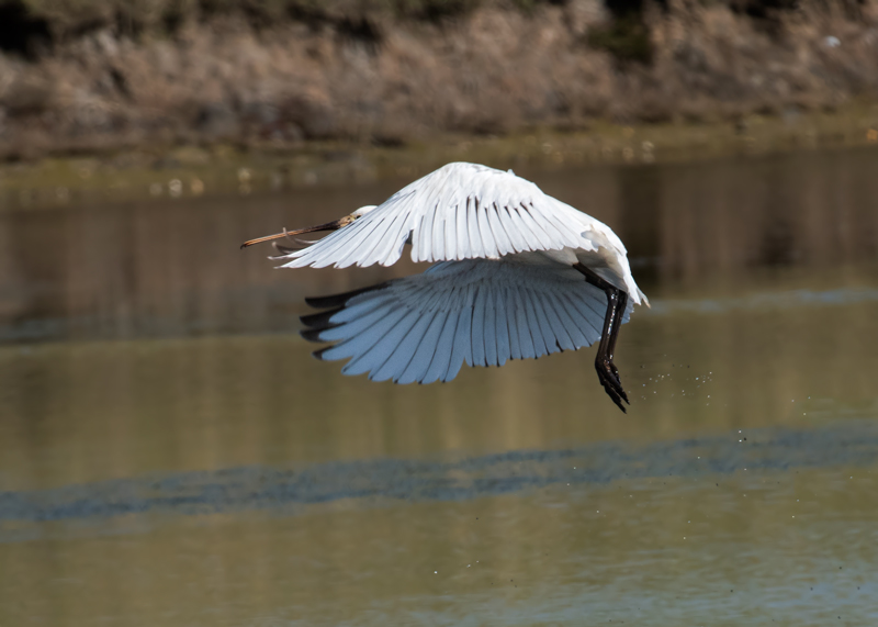 Spoonbill takes flight