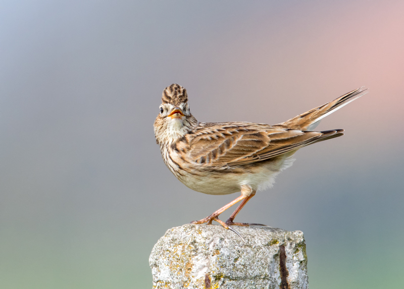 displaying Skylark
